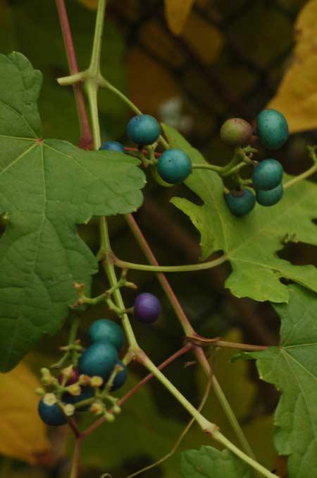 Декоративный виноград: описание и размножение