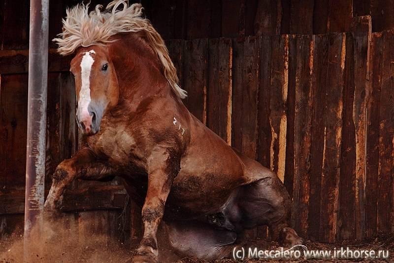 Советские тяжеловозы лошади: описание, уход и кормление