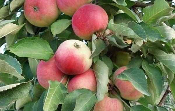Лучшие сорта яблонь для посадки на урале