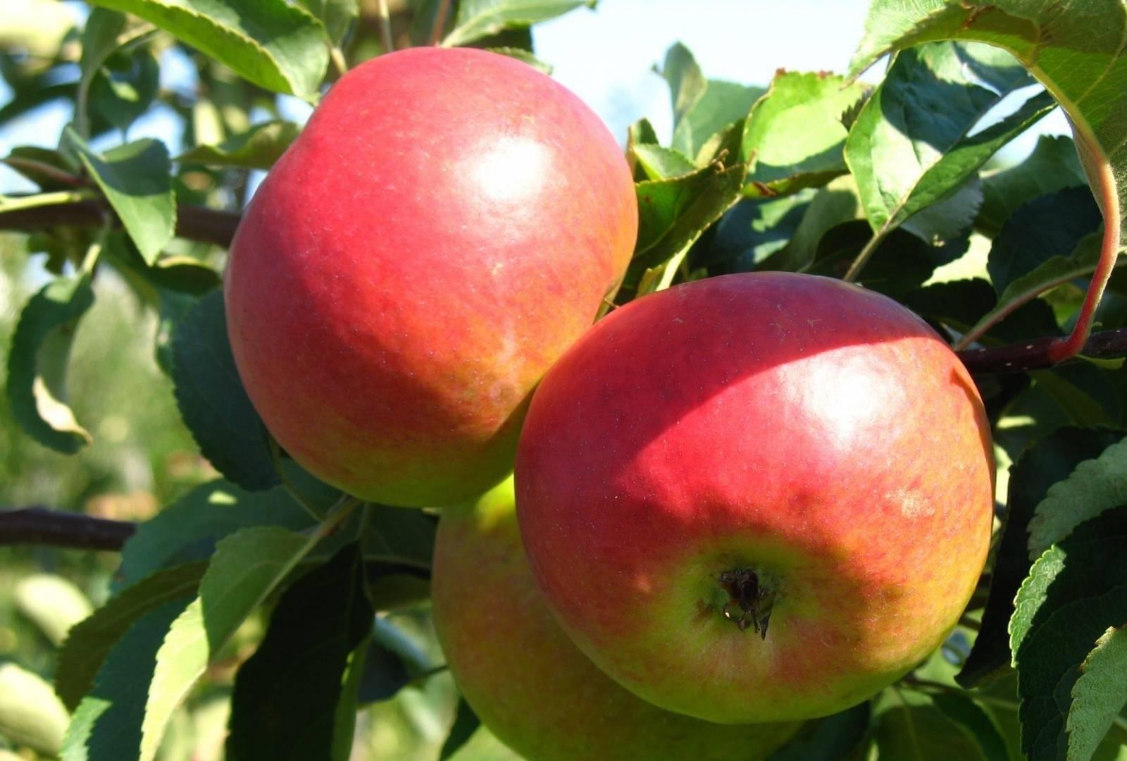 Яблоня жигулевское: подробное описание сорта, отзывы, фото