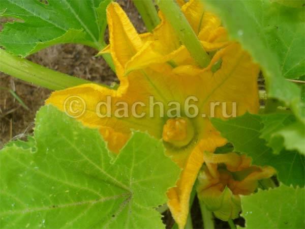 Из-за чего у кабачков желтеют листья?