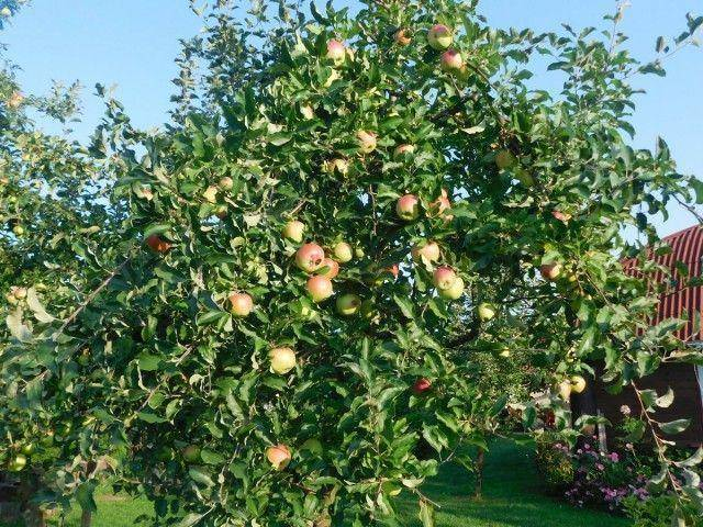 Сорт яблони услада: описание, посадка и уход