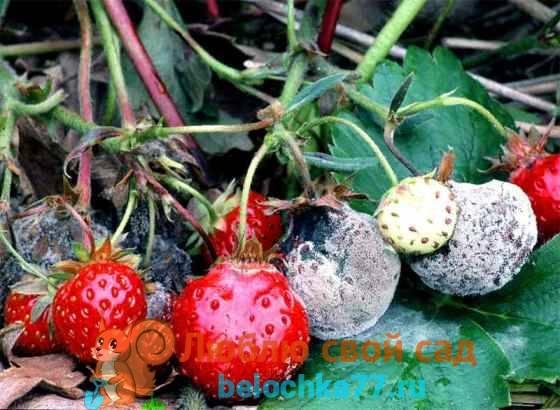 Чем обработать клубнику от вредителей и болезней весной