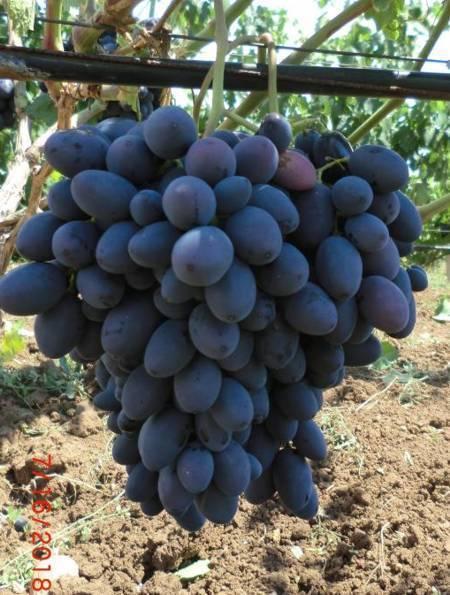 Виноград каталония: описание сорта