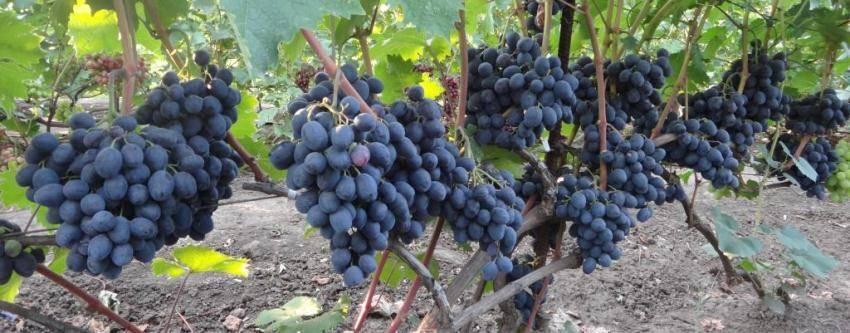 Описание сорта винограда руслан: фото, видео и отзывы | vinograd-loza