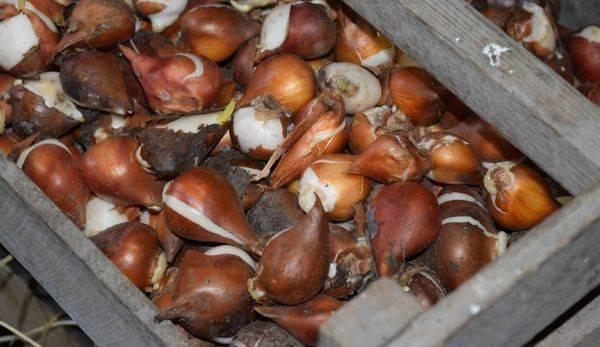 Когда правильно сажать тюльпаны осенью в открытый грунт