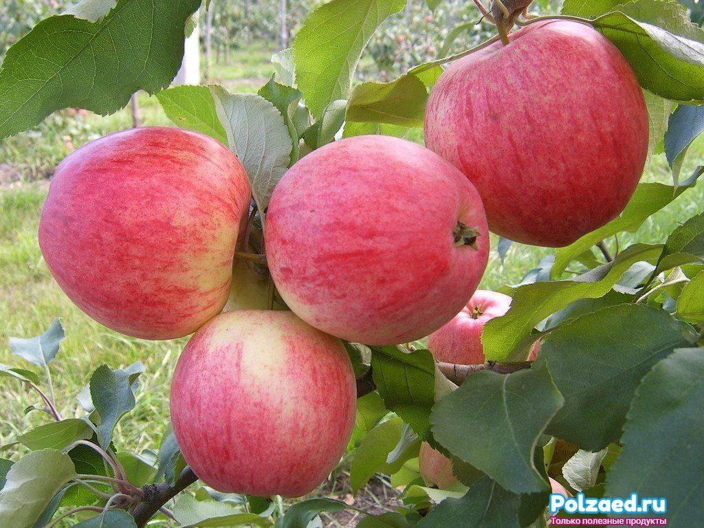 Осенняя подкормка яблони в зиму: чем и как удобрять, какие удобрения вносить