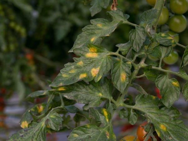 Белеют листья у рассады помидоров — что делать и почему они появляются