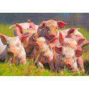 "Бизнес план ""разведение свиней"""