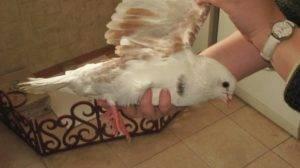 Как отличить голубя от голубки: все очень просто