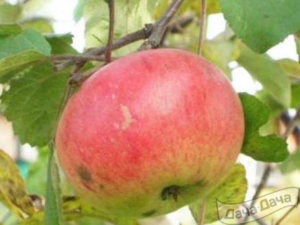 Особенности яблони июльской черненко