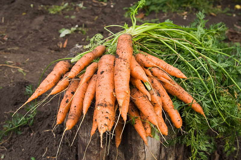 Чем подкормить морковь народными средствами после всходов