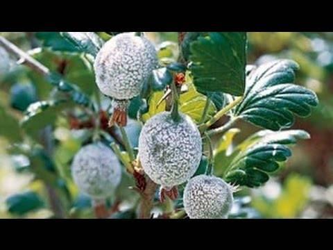 Болезни крыжовника с фото и борьба с ними: белый налет на ягодах