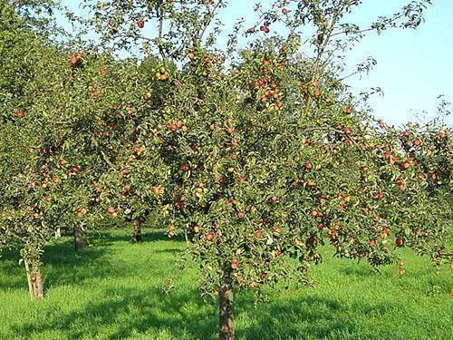 Сохнет яблоня — разбираем причины и способы устранения проблемы