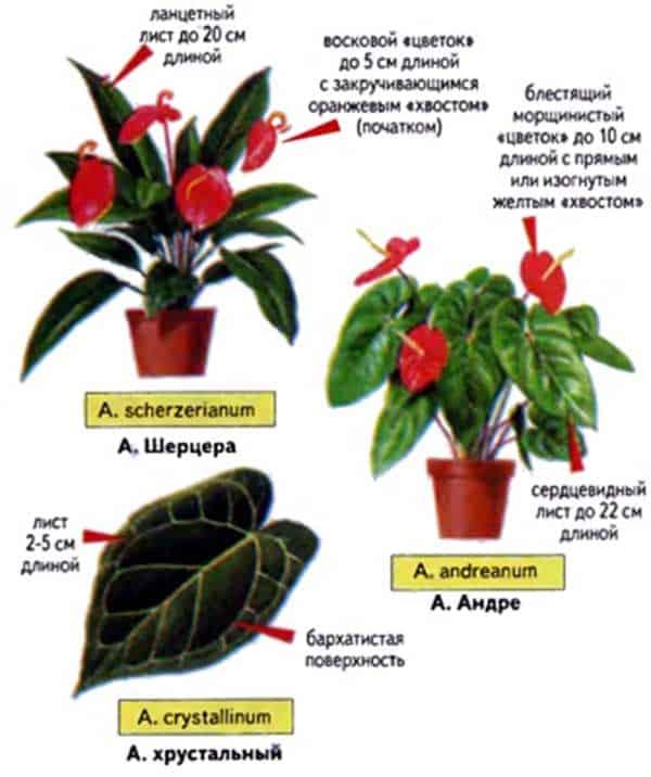 Антуриум: описание, виды, выращивание и размножение