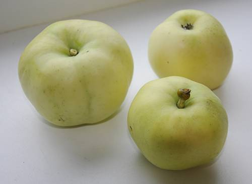Яблоня белый налив: описание сорта - про сорта