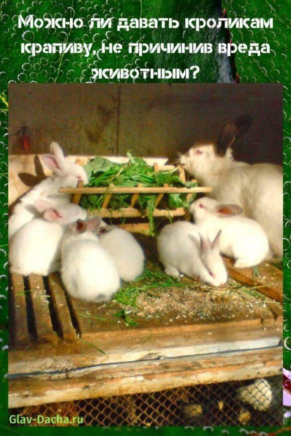 Можно ли давать крапиву кроликам?