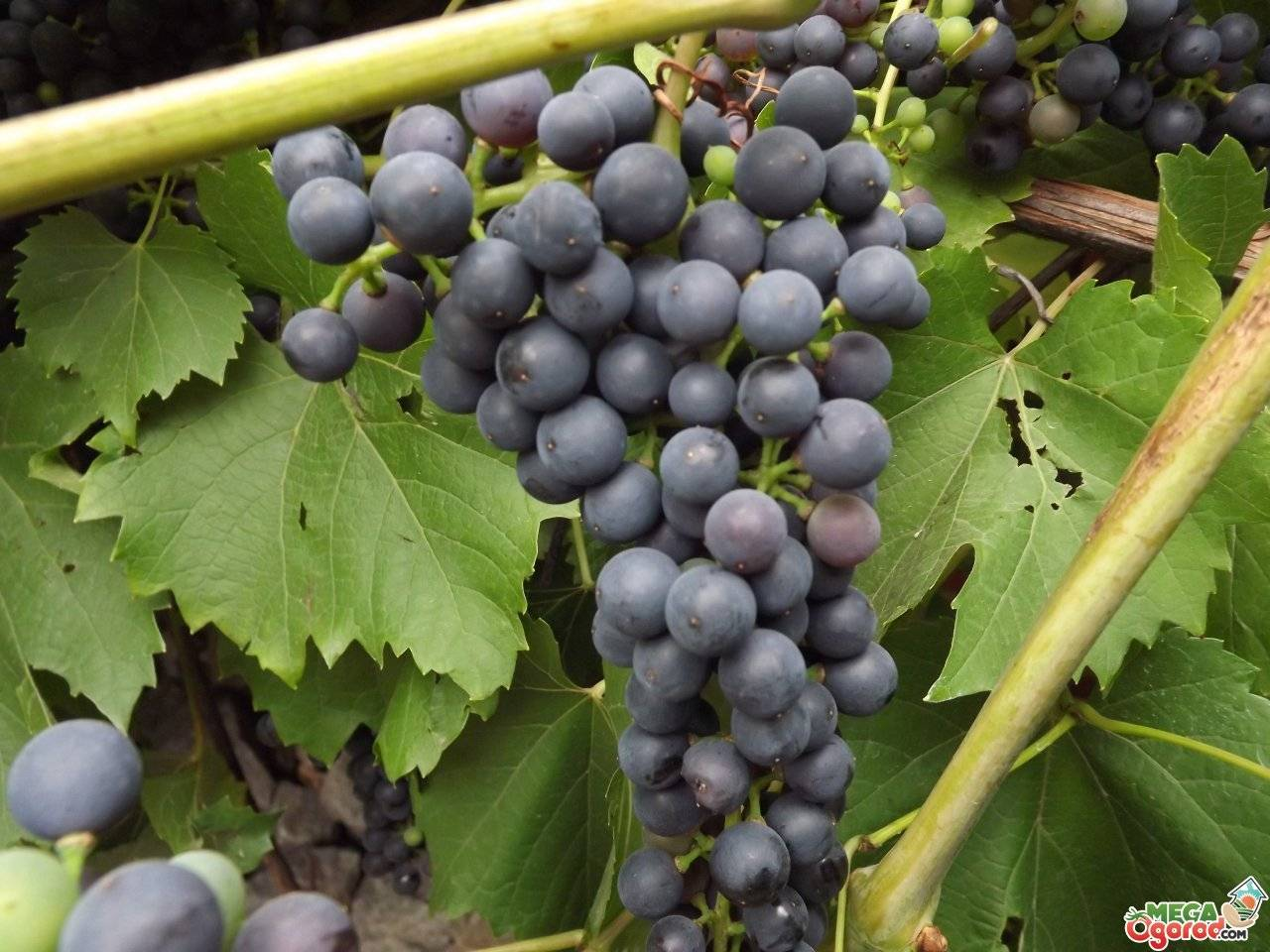 ᐉ черна перла - виноград - roza-zanoza.ru