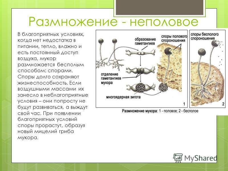 Как выглядит мукор под микроскопом
