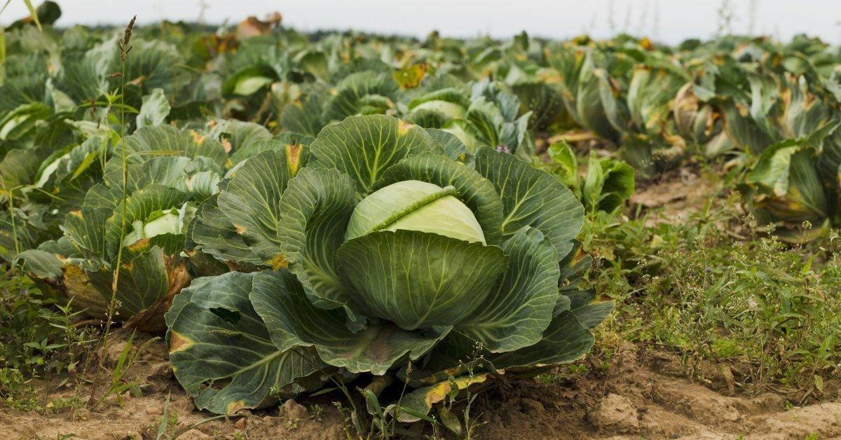 Почему краснеют нижние листья у капусты и что нужно делать, в том числе если изменила цвет верхняя часть рассады, а также описание мер профилактики