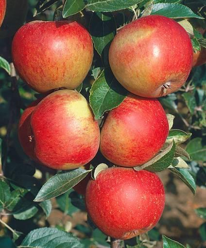 Яблоня услада: описание, фото, отзывы
