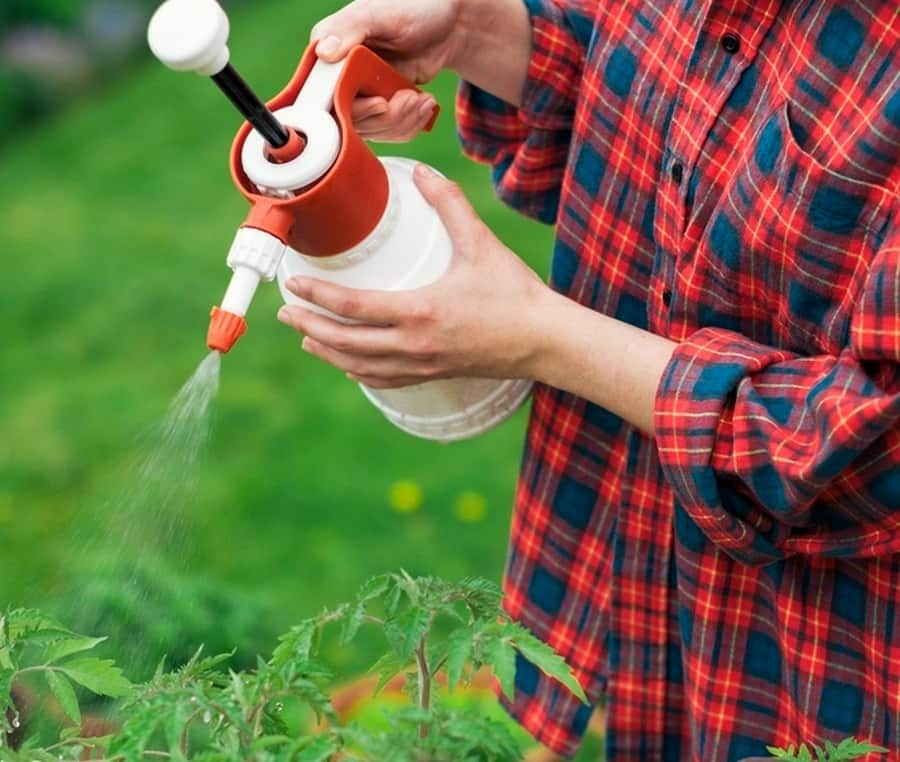 Можно ли опрыскивать рассаду помидор водой
