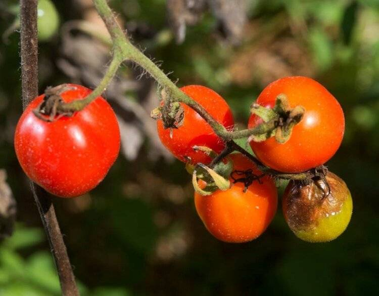 Фитофтора на помидорах: как бороться народными средствами