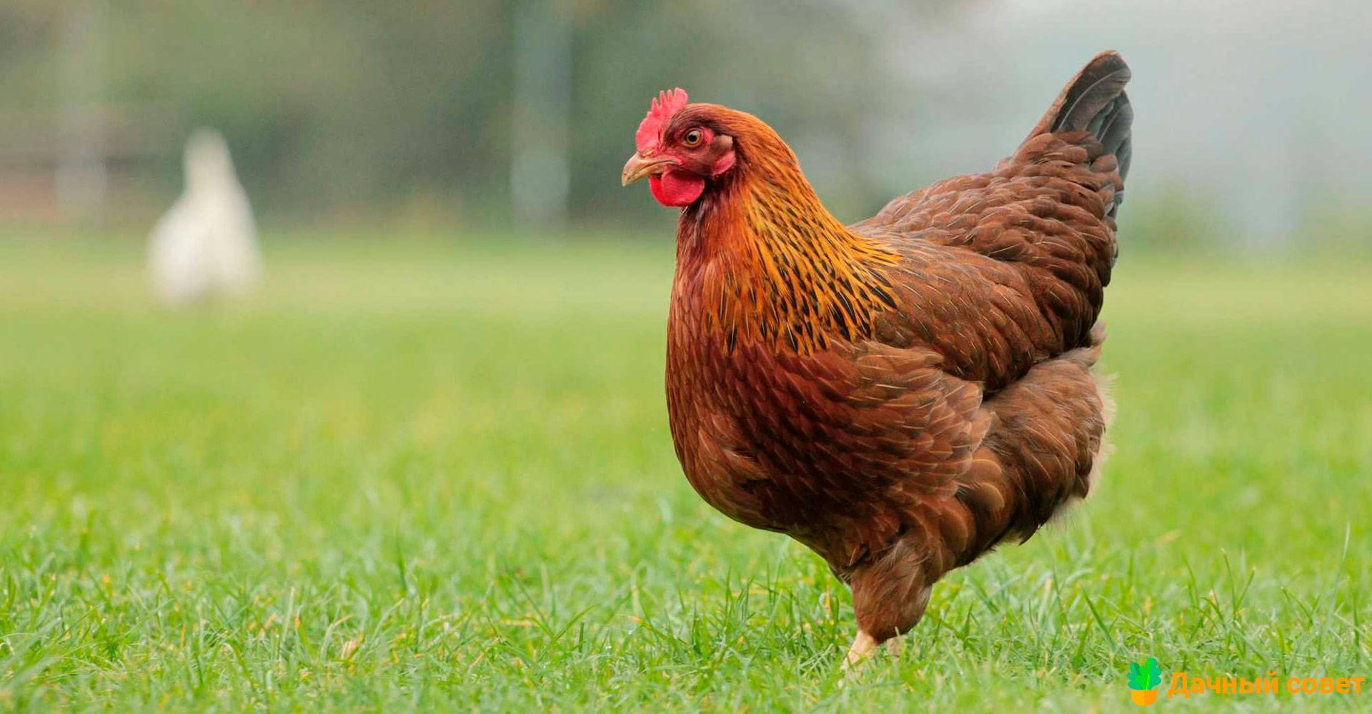 Выпадение яйцевода у кур и его воспаление: как лечить