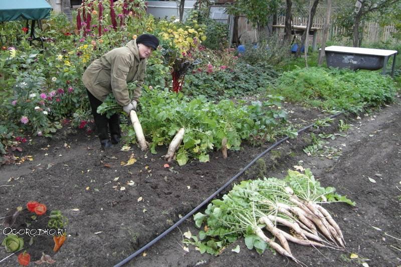 Посадка и уход за черной редькой в открытом грунте на даче: как правильно и когда выполнить посев, в какие сроки проклевываются семена, также чем удобрить растение? русский фермер