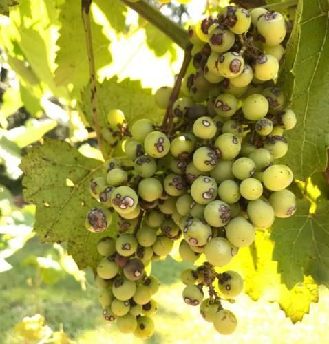 Антракноз винограда: фото, чем лечить?