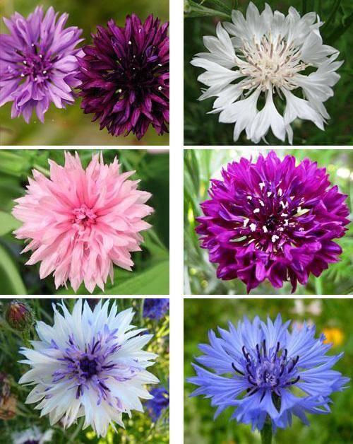 Цветок василёк: уход, выращивание и многое другое