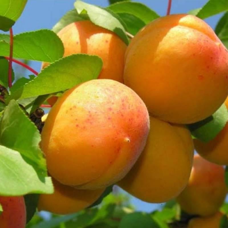 Самоплодные абрикосы: особенности и характеристики сортов