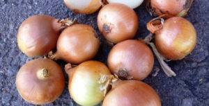 Лук центурион: описание сорта, уход и отзывы