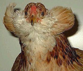 Араукана порода кур: описание, характеристики и разведение