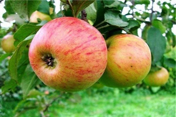 Яблоня медуница: описание, фото, отзывы, посадка
