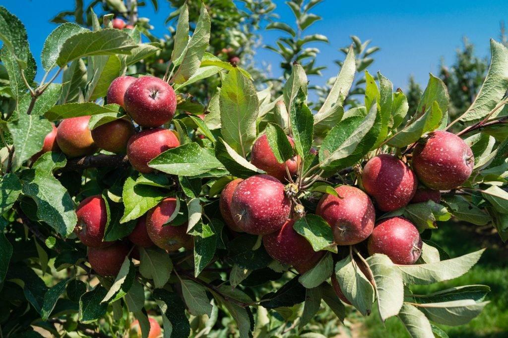 Красные сорта яблок: лучшие разновидности