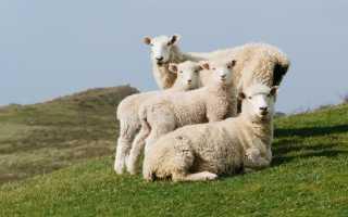 ✅ цигайская порода овец: характеристика породы, основные достоинства и недостатки, внешний вид, фото - tehnoyug.com