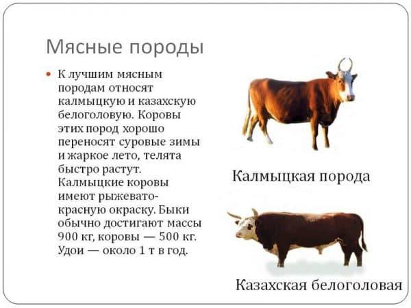 Калмыцкая порода коров: фото