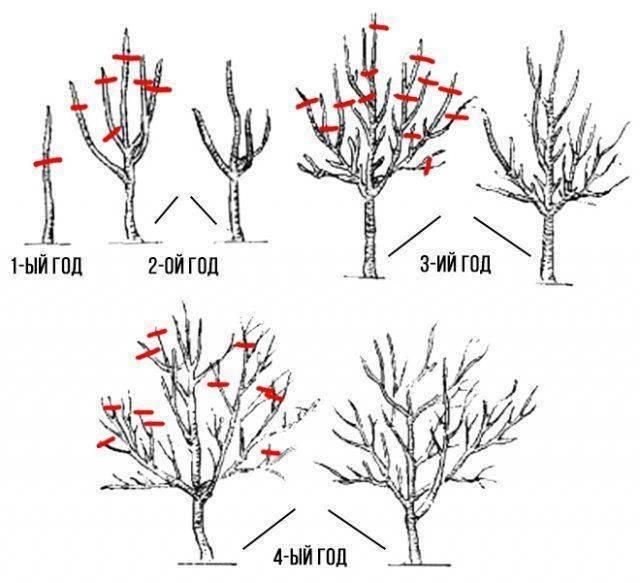 Обрезка яблонь весной: как отличить плодоносящие ветки, схемы обрезки