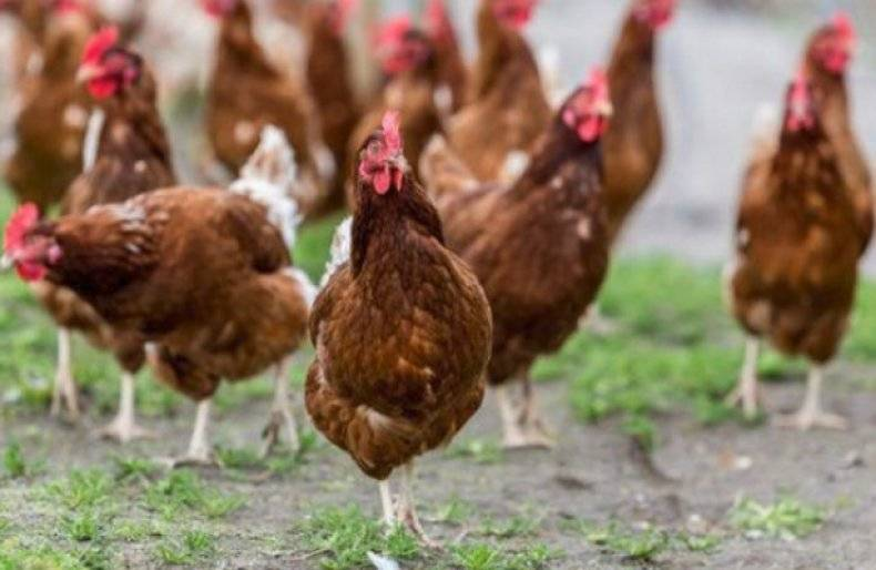 Породы кур: яичные, мясные, мясо-яичные, декоративные с фото