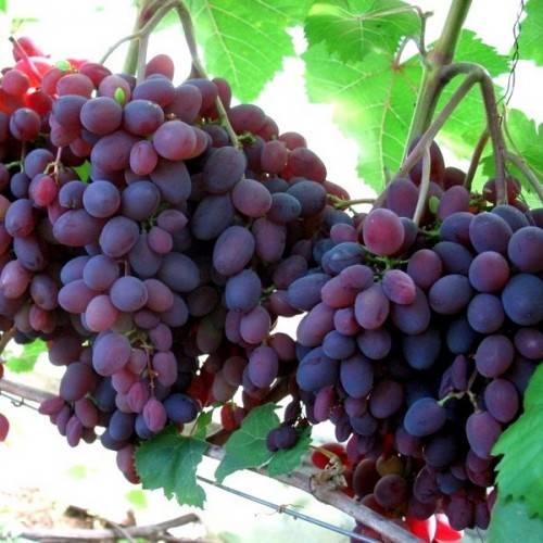 Виноград кишмиш запорожский: что нужно знать о нем, описание сорта, отзывы