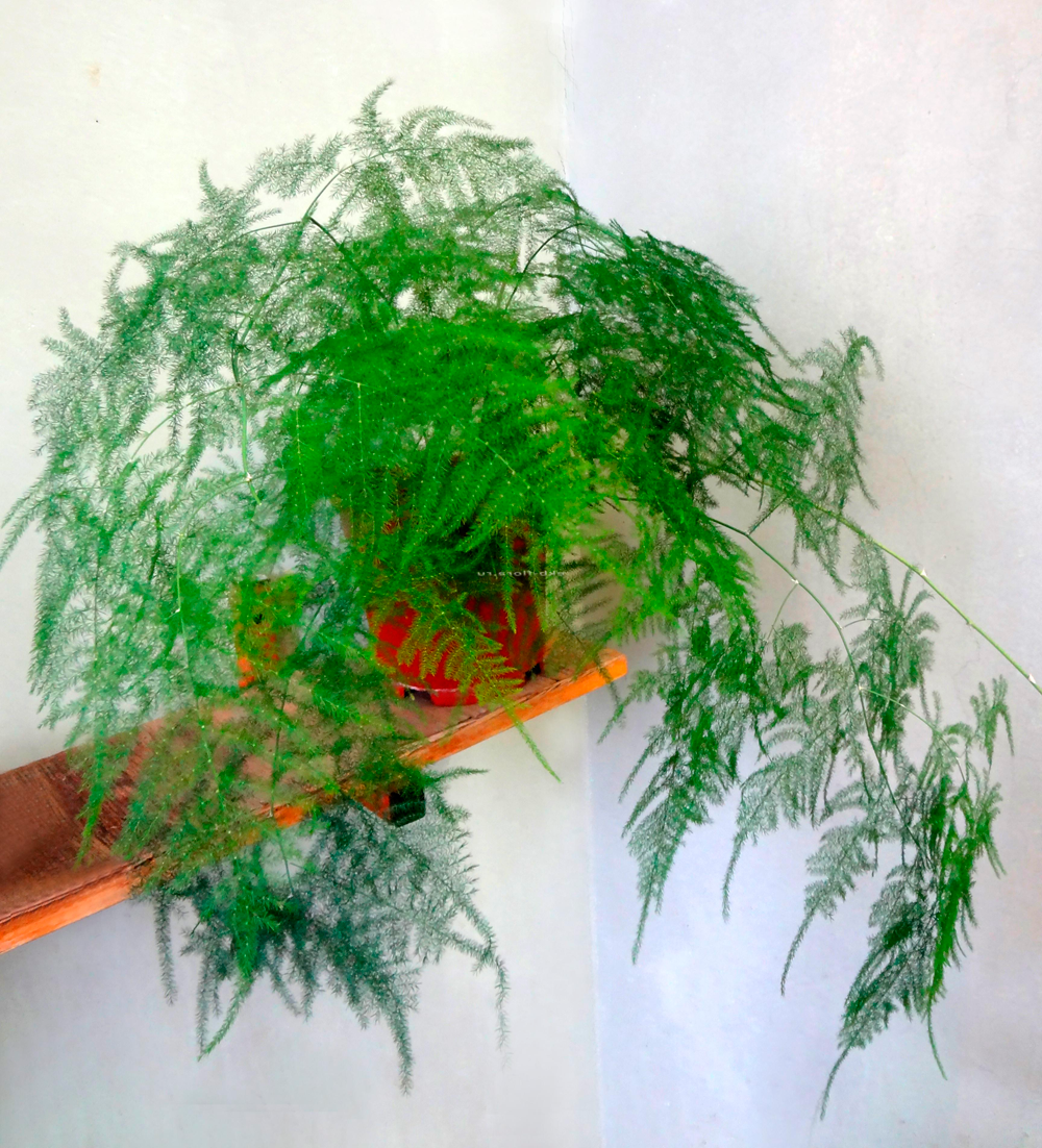 Аспарагус (asparagus) – уход, фото, виды