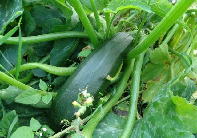 Кабачок цукеша: описание сорта, особенности выращивания, посадки и ухода, отзывы