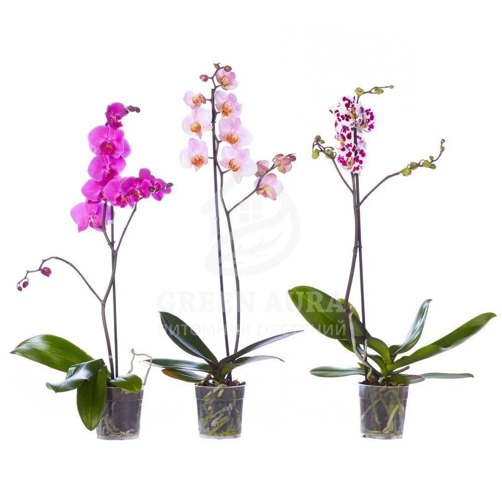 Мини орхидея фаленопсис: виды маленького растения и в чем их отличия от стандартного цветка, посадка и уход за карликовым цветком в домашних условиях