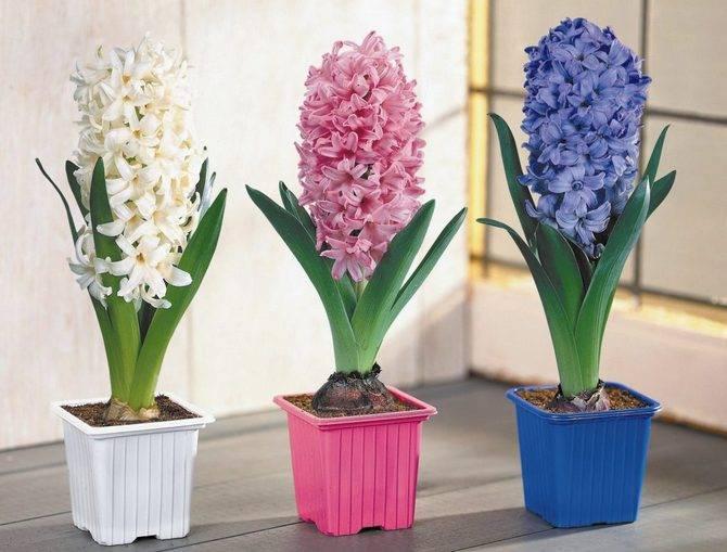 Цветок «Гиацинт» в горшке: фото, уход в домашних условиях
