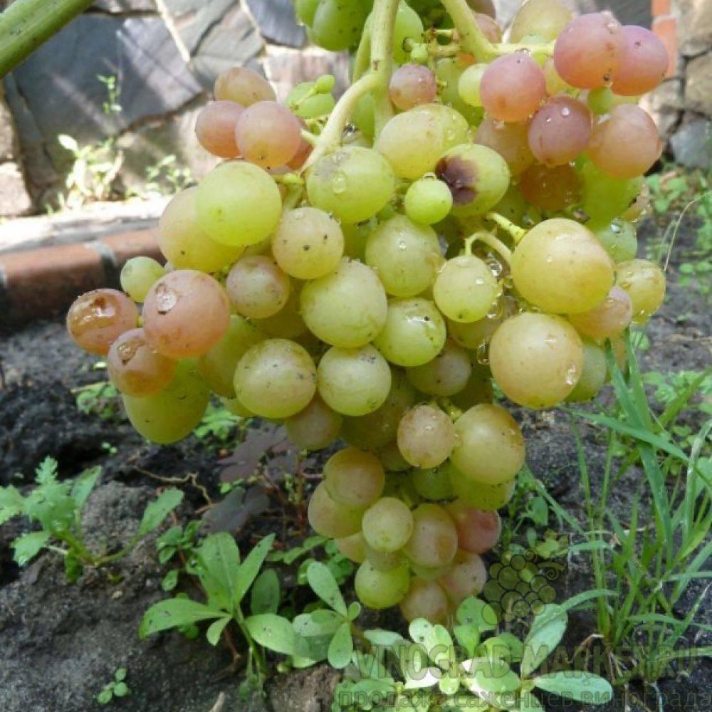Сорт винограда блестящий — описание и правила выращивания