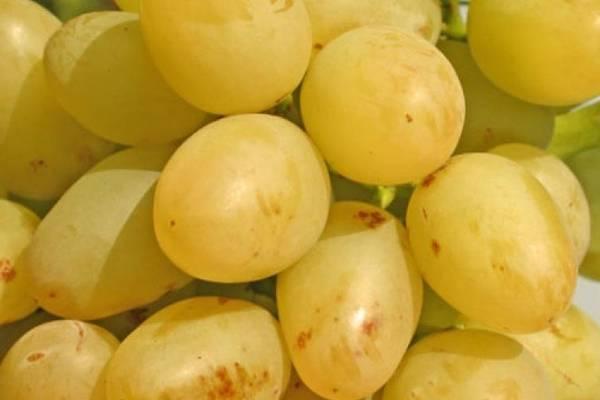Описание сорта винограда «аркадия»: внешний вид, особенности ухода, обрезка осенью, обзор отзывов о выращивании