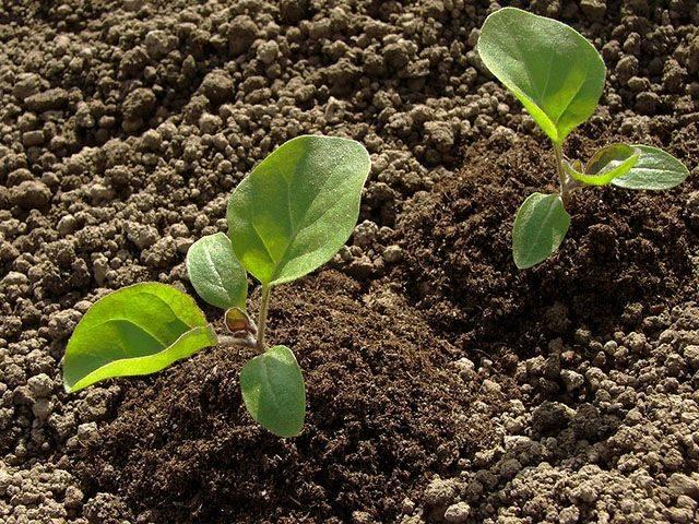 Как вырастить хорошую рассаду баклажанов: правила ухода и выращивания