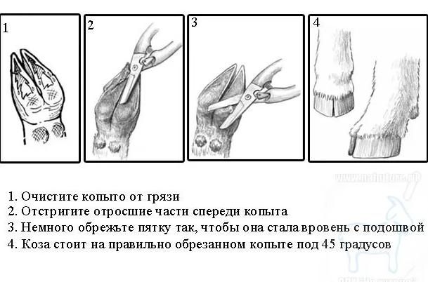 Техника и инструмент для обрезки копыт у коз