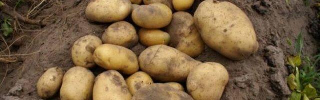 Картофель уладар – описание сорта, фото, отзывы